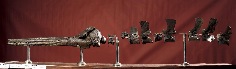 Fossil- Skull