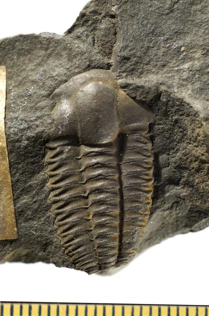 Fossil- Trilobite