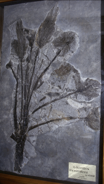 Fossil- Palm frond