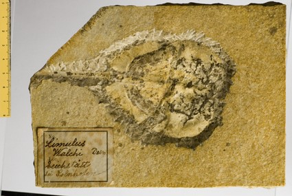 Fossil- Limulus