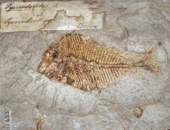 Fossil Fish of Bolca