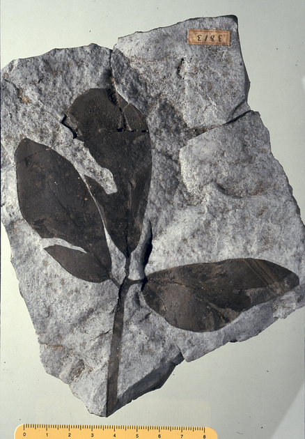 Fossil- Tripartite leaf