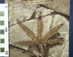 Fossil- Tripartite leaf