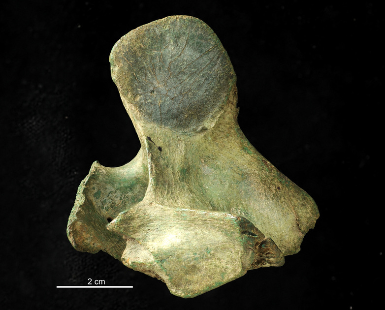 Fossil- Mammalian vertebra